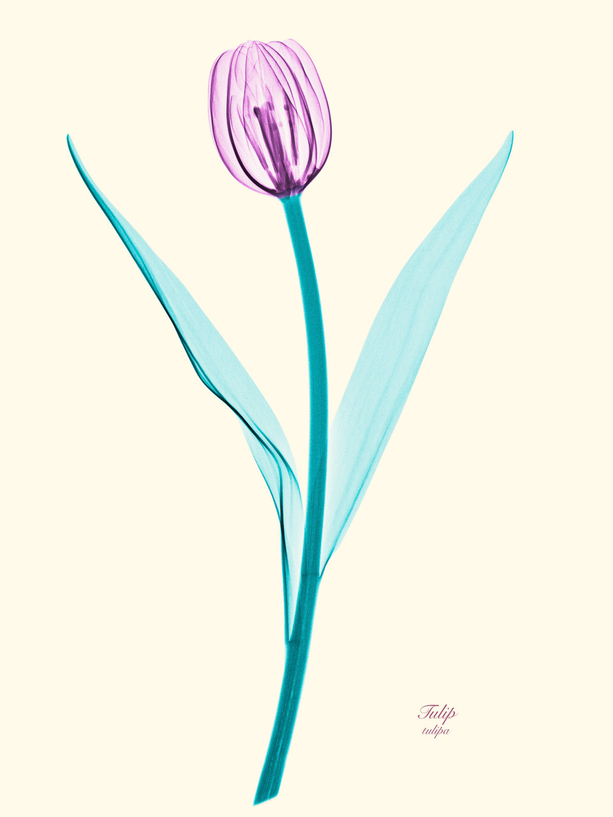 X-Ray Photograph of a Tulip - Brendan Fitzpatrick